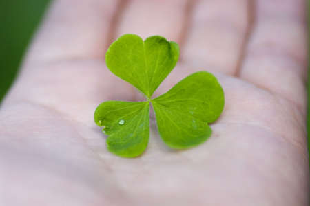 three leafed: Clover leaf down on hand. Leaf with water drop.