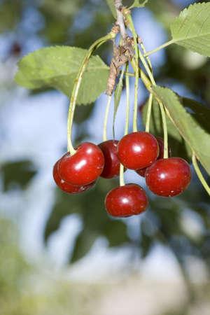 big sweet and juicily cherries on a Tree. photo