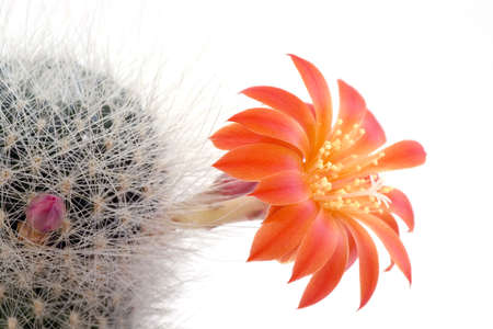 Cactus flower on the white background photo