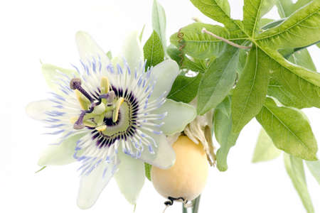passionflower: Close up of passiflora (passion fruit and passionflower) on white background. Stock Photo