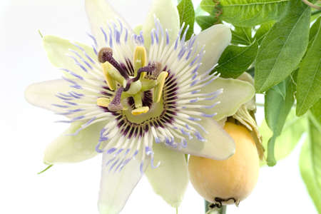 Close up of passiflora (passion fruit and passionflower) on white background Stock Photo