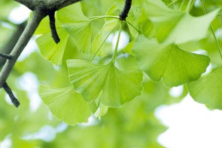 イチョウ葉。