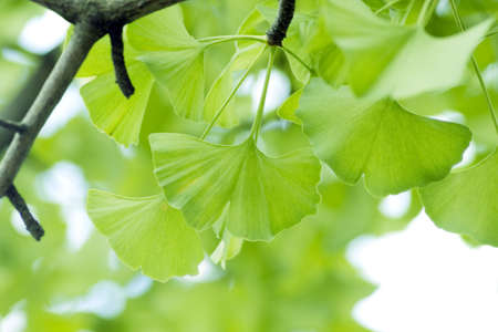 Ginkgo biloba leaf.  Stock Photo
