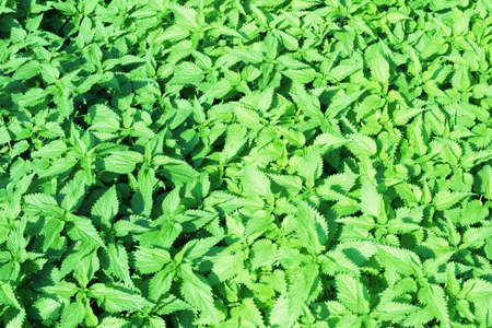 Abstract green nettles background photo