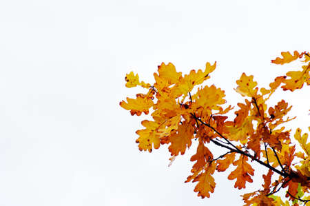 Autumn Leaves of oak on the branch Stock Photo