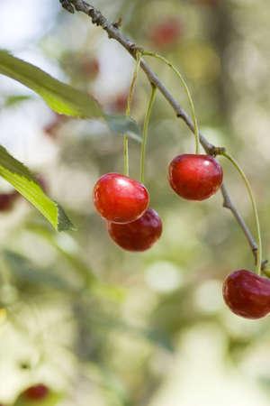 big sweet and juicily cherries on a Tree photo