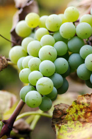 Close-up of a bunch of grapes on grapevine in vineyard. Shallow DOF. Stock Photo - 3832464