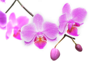 Beautiful tropical orchids. Pink orchids on a white background Stock Photo