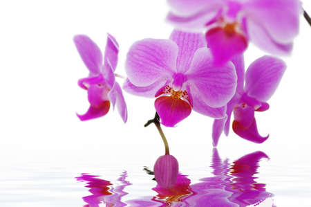 A rose orchids on the white background. Spa concept. photo
