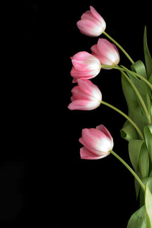 pink tulips: Lots of pink tulips on a black background