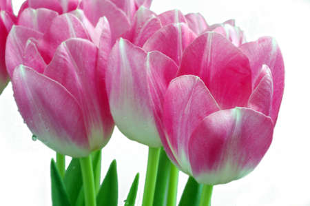 Lots of pink tulips on a white background Stock Photo - 4377805