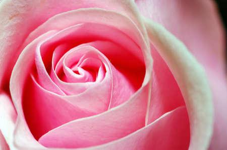 a close-up of pink rose petals photo