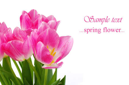 Lots of pink tulips on a white background with place for text