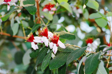 pestil: spring flowers of feijoa on the tree