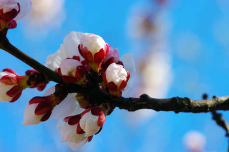 White apricot flowers with blue sky background Stock Photo - 4715973