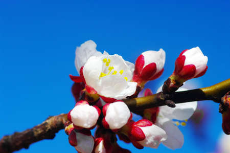 White apricot flowers with blue sky background Stock Photo - 4720819