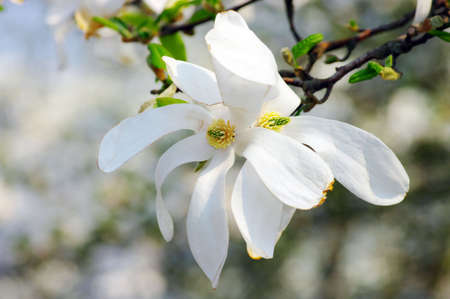 Spring Blossoms of a Magnolia tree. Close-up flower of Magnolia photo
