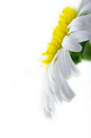 specific: White camomile flower close-up against white background. Focun on the water drop.