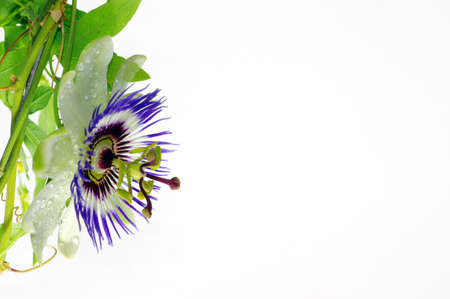 Purple Passionflower on a white background. Close-up of Passionflower with place for text.
