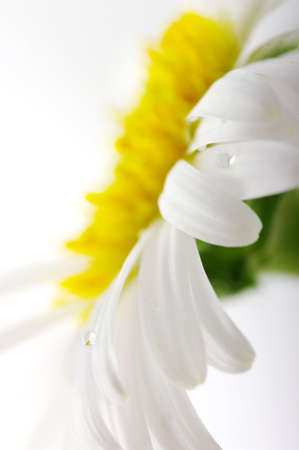 White camomile flower close-up against white background. Focun on the water drop.