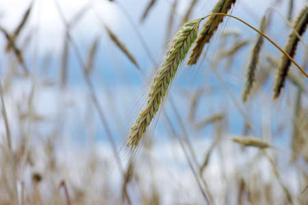 Golden wheat on the blue sky background Stock Photo - 5162343