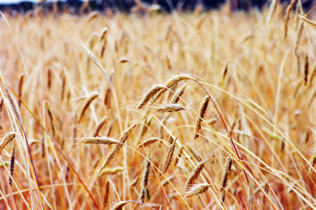 Golden wheat on the plant. Stock Photo - 5162345