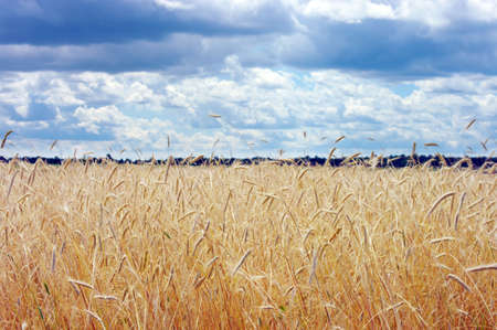 Golden wheat on the plant. Moving wheat plant  by wind. Stock Photo - 5174118