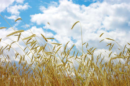 Golden wheat feald with blue sky background Stock Photo - 5174122