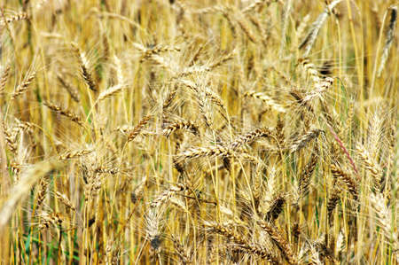 Golden wheat on the plant. Stock Photo - 5198115
