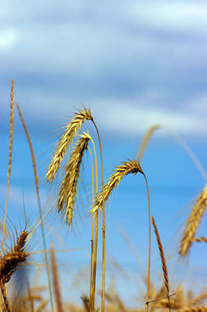 Golden wheat feald with blue sky background Stock Photo - 5220042