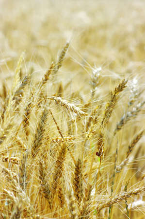 Golden wheat on the plant. photo
