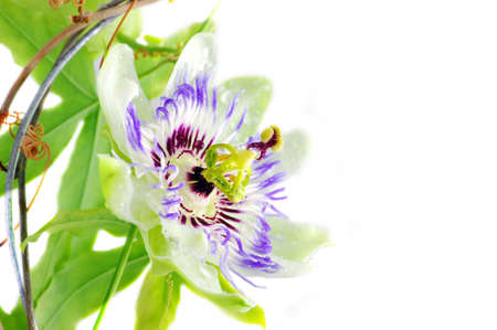 Purple Passionflower on a white background with place for text.