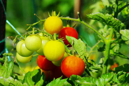 Fresh ripe tomatoes on the plant� Cherry tomatoes photo