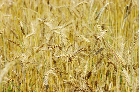 Golden wheat on the plant. Stock Photo - 5316554