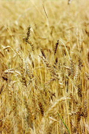 Golden wheat on the plant. Stock Photo - 5316555