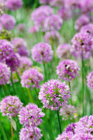 Close up of the flowers of some allium photo