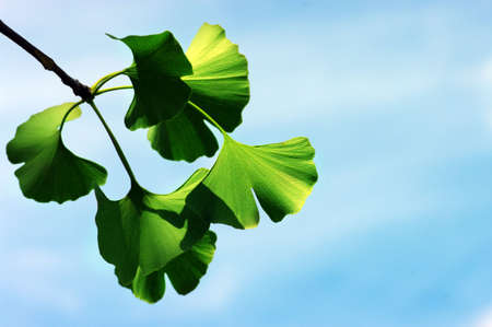 Ginkgo biloba leaf on the blue background. Stock Photo