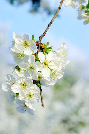 Cherry tree with white flowers Stock Photo