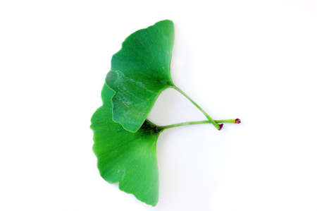 ginkgo biloba leaf on the white background photo