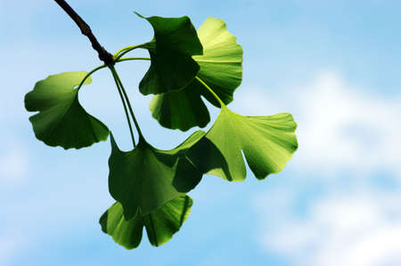 Ginkgo biloba leaf on the blue background. photo