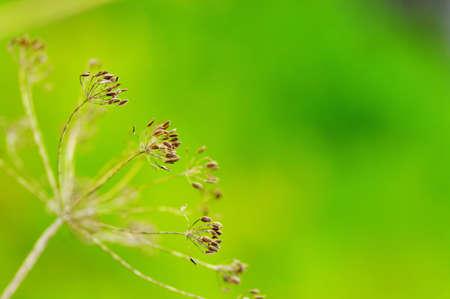 intense flavor:  fennel seeds shallow focus in a garden  Stock Photo