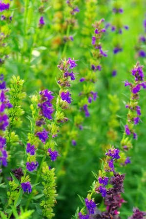 Hyssop plant in the garden