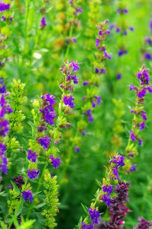 Hyssop plant in the garden