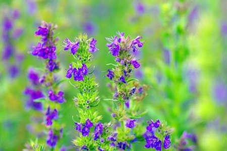 hyssop: Hyssop plant in the garden