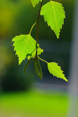 Background leaves green. Leaves of birch. Stock Photo