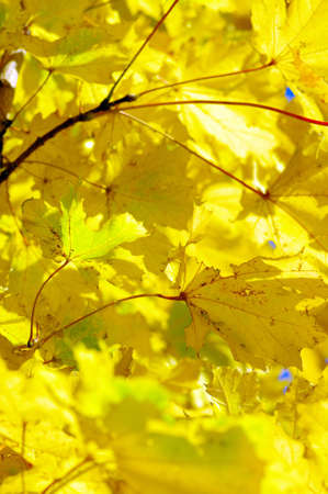 beautiful background from maple leaves
