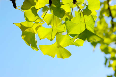Ginkgo biloba leaf.  photo