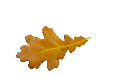 yellow autumn oak leaf over the white background