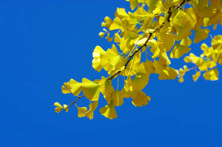 Yellow Ginkgo biloba leaf on the blue background.  photo