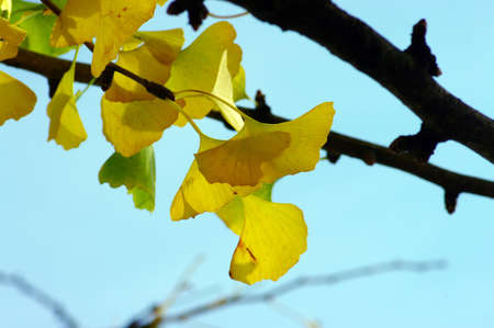 Ginkgo biloba leaf on the blue sky photo